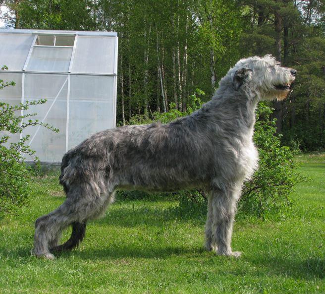 Dipsy guldhund